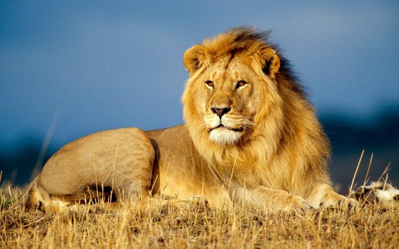Leão Selvagem Vs. Leão naJaula